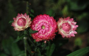 Essential Oils For Birth Helichrysum