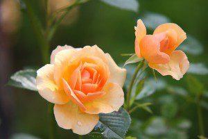 Essential Oils For Birth Rose