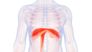 Diaphragm Muscle Helps You Stop Pushing